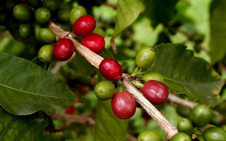 cerises de café kona